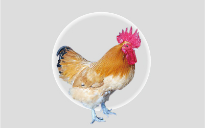 紅標土雞 (商品代)
