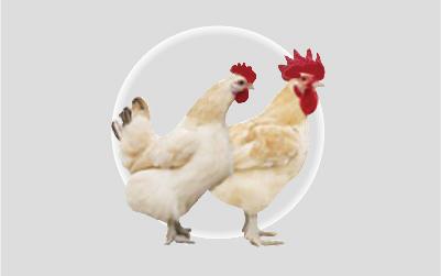 紅標土雞(父母代)