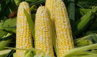 玉米施用微生物菌肥经济效益倍增