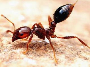 紅火蟻的危害及防制