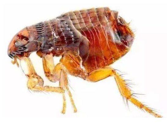 蚤類的危害及防制